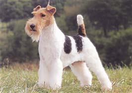 wire_fox_terrier[1]